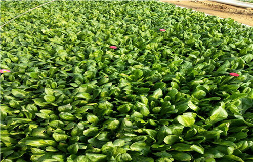 宜賓多芽紫菀2019年新價格